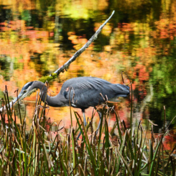 Great Blue Heron with Fall Colors in Hoh Rainforest Olympic National Park 3