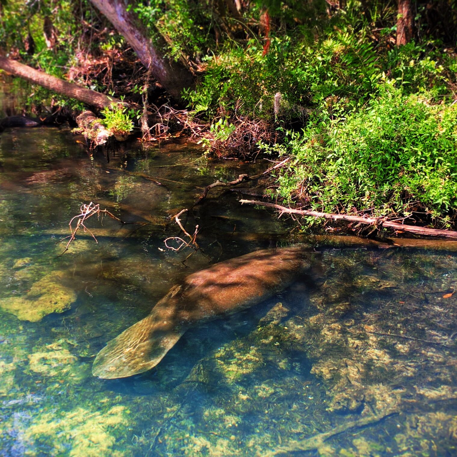 Manatee in river at Homosassa Springs State Park Florida 8