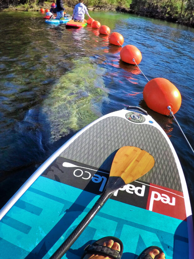 SUP with Manatees at Blue Spring State Park Orange City Florida
